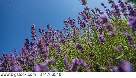 Lavender Flower Close Up In The Garden