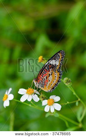 Leopard Lacewing (Cethosa Cyane) butterfly