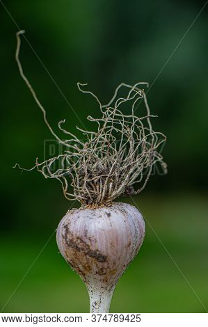 Ripened Garlic With Roots On A Blurry Green Background In The Garden. Summer Season.