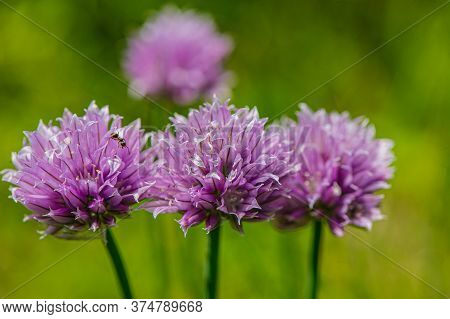 Blooming Purple Flowers Of Decorative Onion On A Blurred Green Background In The Garden. Summer Seas