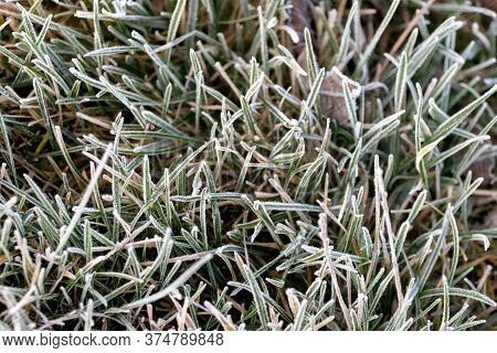 Frost-covered Autumn Grass, Grass Background, The First Frosts