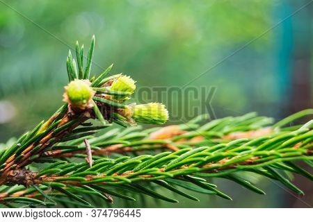 Young Spruce Shoots On A Blurred Background. Spruce Paw. Evergreen