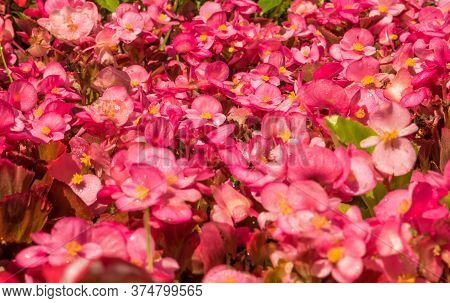 Field With Many Begonia Cucullata Or Wax Begonia Flowers.