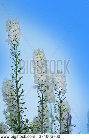 Delphinium Flowers Plant Growth In Organic Greenhouse Garden