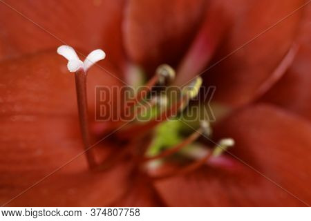 A Macro Shot Or Extreme Close-up Of A Red Amaryllis Flower In Full Bloom With A Very Shallow Depth O