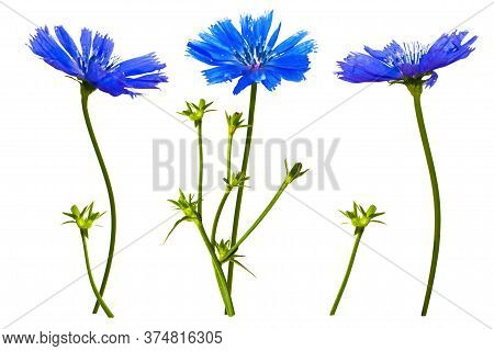 Blue Flower. Chicory Ordinary (lat. Chicory Common) Isolated On White Background.