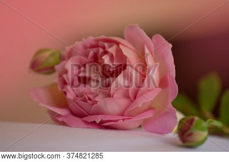 Fresh Beautiful Flower On The Bed. Pink Rose Background