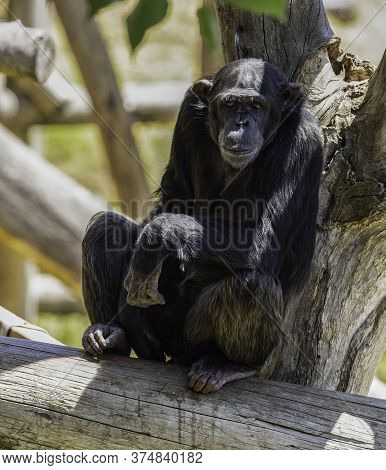 A Portrait Of A Female Chimpanzee Sitting In Its Compound In The Jerusalem, Israel, Zoo.
