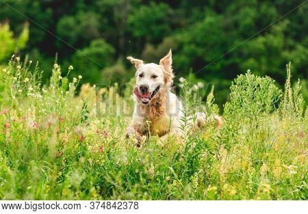 Funny golden retriever dog on flowering yellow field