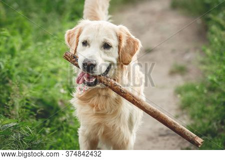 Cute golden retriever dog running with stick in mouth outdoors