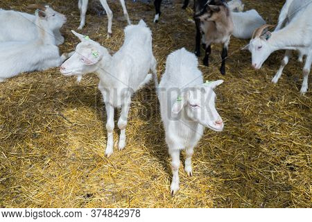 Goats On A Goat Farm. Farm Livestock Farming Of Goat Milk Dairy Products