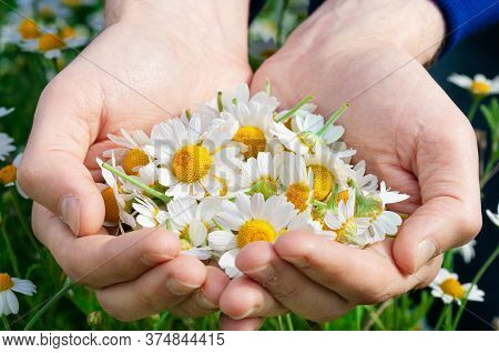 Man\'s Palms With Fresh Pharmacy Chamomile Flowers On Sunny Summer Day, Closeup. A Full Handful Of C