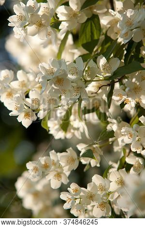 Jasmine Bush With Wonderful Delicate White Flowers Blooming In A Sunny Summer Pack Or Forest