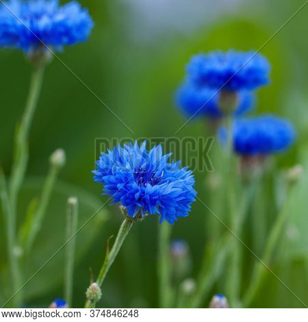 Wonderful Bright Blue Flowers Of A Cornflower Blooming In A Summer Field
