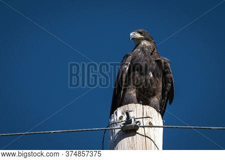 Bald Eagle Juveniles Have A Brown Body With Brown And White Mottled Wings. This Bald Eagle's Feather