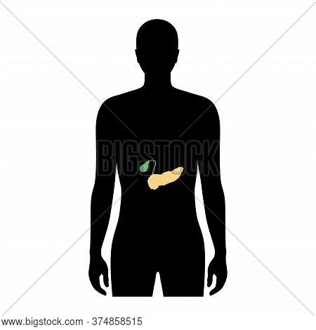 Vector Isolated Illustration Of Pancreas, Duodenum And Gallbladder Anatomy In Male Body. Human Diges