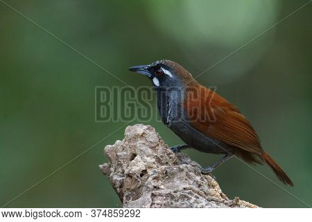 Closeup Adult Black-throated Babbler (stachyris Nigricollis), Low Angle View, Front Shot, In The Mor