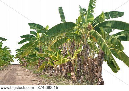 Many Leaves Of Banana Tree, Green Bright Banana Tree In Nature Farm For Plantation Banana On White B