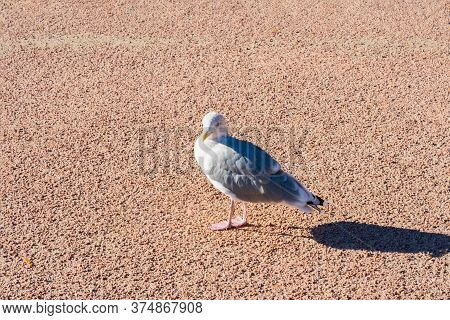 Grey Feathered Seagull Is Standing On The Ground On Daylight. Seagull With Long Shadow Because Of Si