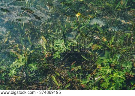 Nature Background Of Green Vegetation In Clear Water. Underwater Flora Close-up. Natural Texture Of