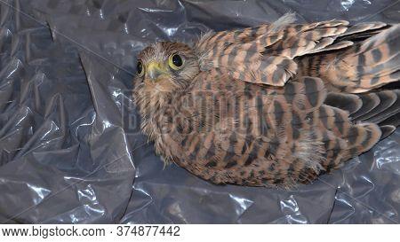 Kestrel. Little Falcon. A Defenseless Chick Of A Wild Bird. Bird Of Prey. The Eyes, The Beak. A Youn