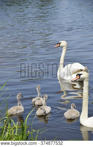 Wild Swans Swim In A Pond With Ducklings. A Brood Of White Swans Near The Shore. Offspring. Waterfow