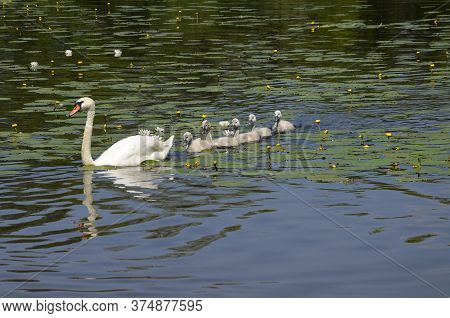Swan With Swans Swimming In The Pond. Little Goslings With A Goose On The Lake. Migratory, Wild Bird
