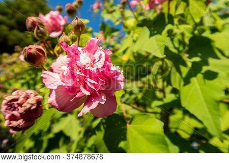 Pink Peony Blooming In Autumn (scientific Name: Paeonia) In Koko-en Japanese Garden In Himeji, Japan