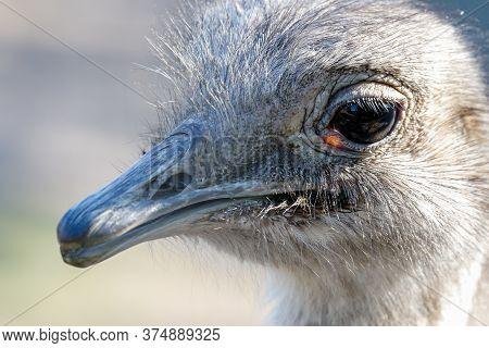Head Shot Of A Darwins Nandoe Bird South American Rhea Pennata Bird