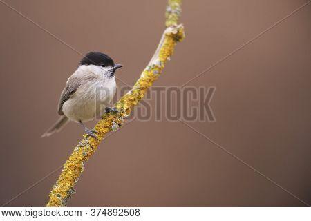 Cramenes, Leon/spain; Feb. 15, 2020. The Marsh Tit (poecile Palustris) Is A Passerine Bird In The Ti
