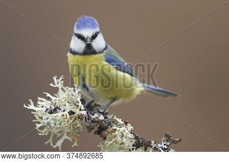 Cramenes, Leon/spain; Feb. 15, 2020. The Eurasian Blue Tit (cyanistes Caeruleus) Is A Small Passerin