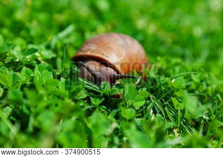 A Maroon Snail (helix Pomatia) Crawls In Close-up On The Green Grass. Grape Snail-snails, Macro.