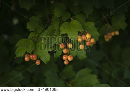 Yellow Berries And Green Leaves Bush. Low Key Image