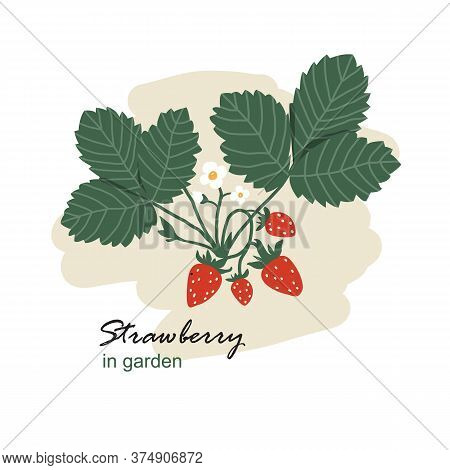 Bush With Strawberries. Harvest Of Delicious Ripe Strawberries.