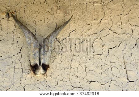 Goat horns on wall