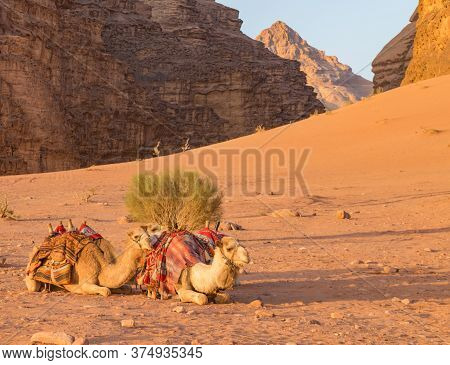 Trio Of Camels Resting With Long Shadows, Orange Sand Slope Behind Them With Desert  Mountain Format