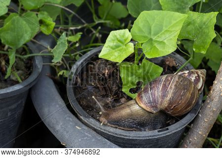 Snail Or Giant African Snail (lissachatina Fulica) Is One Of The Most Dangerous Pests In Agriculture