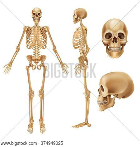 Human Skeleton. Realistic Front View Of Bones And Joints, Medical 3d Illustration Of Skeleton Elemen