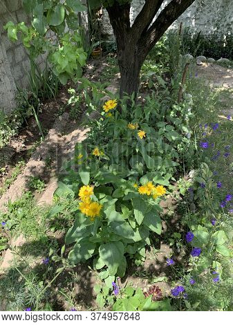 Blooming Yellow And Blue Flowers In The Garden