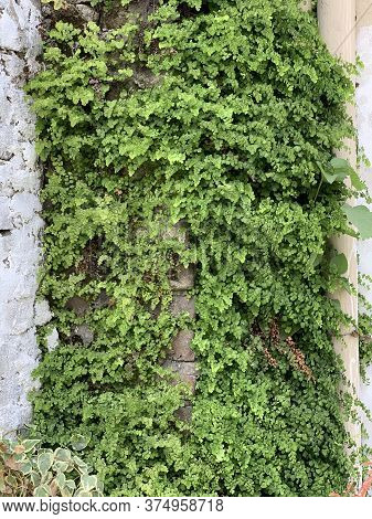 Green Ivy Plant Covering The Outside Wall Of The Building