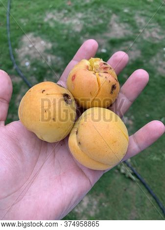 Three Apricots In The Male Hand On The Green Background