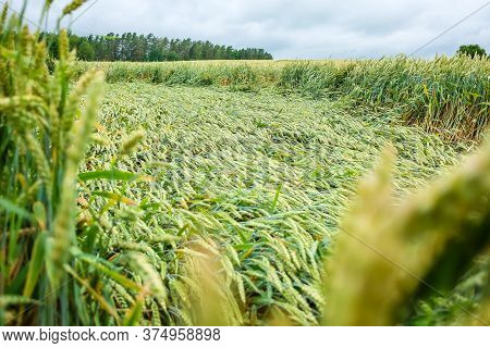 Wheat Field Flattened By Rain, Ripe Wheat Field Damaged By Wind And Rain