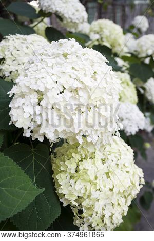 Blooming White Annabelle Hydrangea Arborescens (commonly Known As Smooth Hydrangea, Wild Hydrangea,