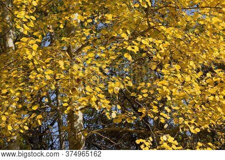 Foliage of European aspen (Populus tremula) in autumn. Natural yellow textured background.