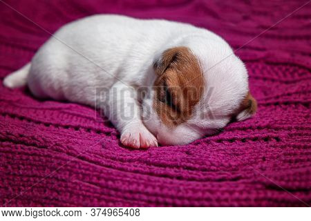Cute Puppy Jack Russell Dog Resting Or Sleeping On Blanket. Portrait,