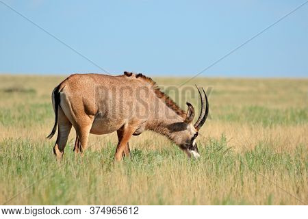 A rare roan antelope (Hippotragus equinus) in open grassland, Mokala National Park, South Africa