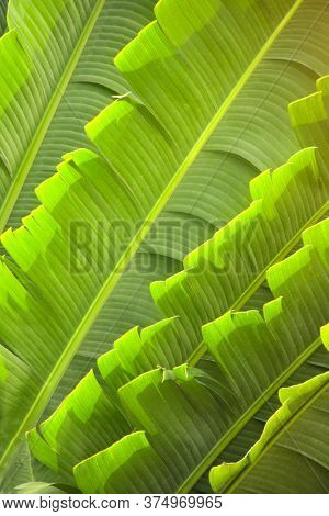 Leaves of Ravenala Madagascariensis (Traveller's palm). Close up photo leaf of exotical tropical palm