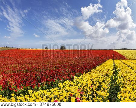 Farmer field of flowering red and yellow buttercups /ranunculus/. South of Israel, spring day. Light clouds in the blue sky. The concept of ecological, rural and photo tourism