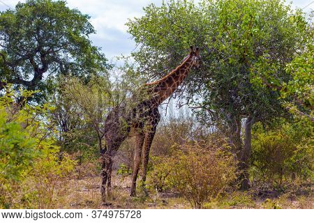 Gorgeous giraffes. Exotic journey to the South Africa. The famous Kruger Park. Huge long-necked animals graze in the bushes of the African savannah. The concept of ecological and photo tourism