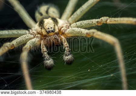 Labyrinth Spider (agelena Labyrinthica), From The Family Of Funnel Spiders, Sitting In A Tunnel From